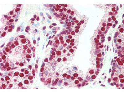 Goat Polyclonal PLRG1 Antibody