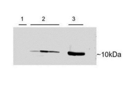 Parvalbumin Antibody