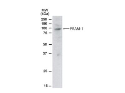 Goat Polyclonal PRAM1 Antibody