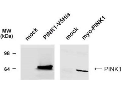 PINK1 Antibody