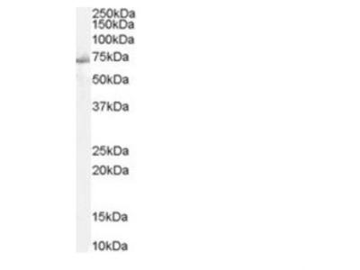 SHP-2 /PTPN11 Antibody