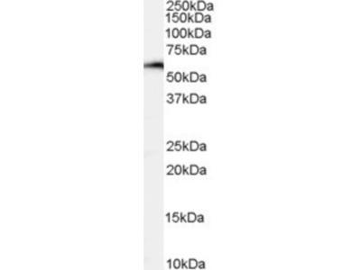 Goat Polyclonal NFIL3 Antibody