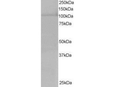 Goat Polyclonal RanBP16 Antibody