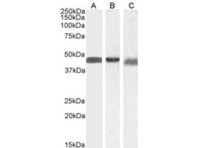 Goat Polyclonal beta-Arrestin 2 Antibody