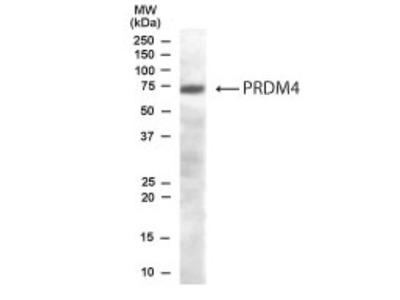 Goat Polyclonal PRDM4 Antibody