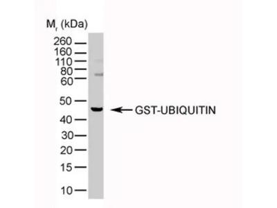 Ubiquitin Antibody (1B4-UB)