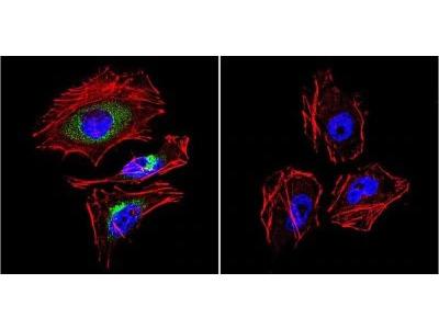 LAMP-2 / CD107b Antibody