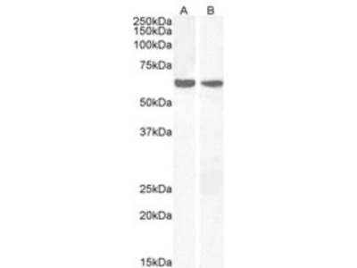 Goat Polyclonal PPP2R1A Antibody