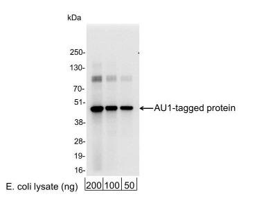 AU1 Epitope Tag Antibody