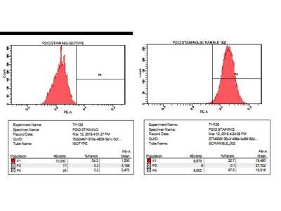 Rabbit Polyclonal P2X3 / P2RX3 Antibody