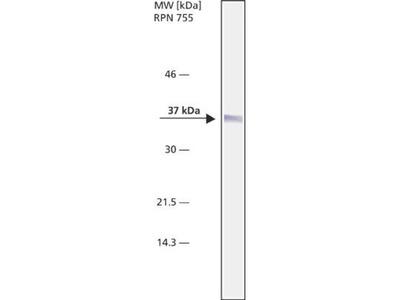 NPM1 Antibody (FC82291)