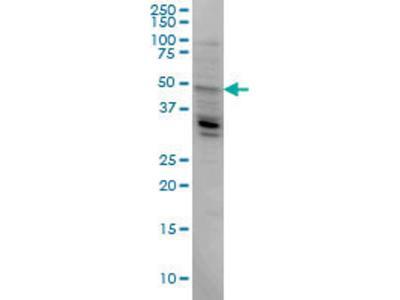 LASS4 Antibody (2G6)