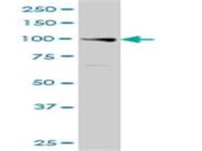 Exonuclease 1 Antibody (1G12)