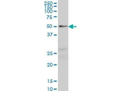 NFIC Antibody (2B6)