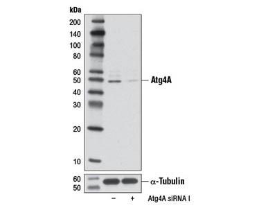 Atg4A (D62C10) Rabbit mAb