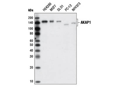 AKAP1 (D9C5) XP ® Rabbit mAb