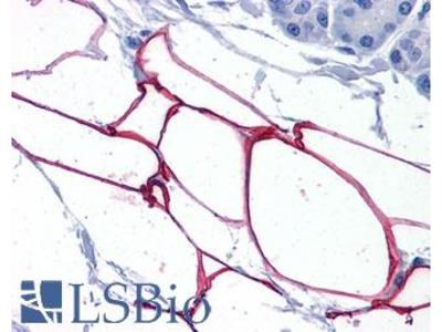 PLIN4 / S3-12 Antibody