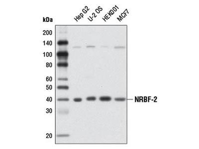 NRBF-2 Antibody