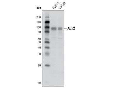 Axin2 (D48G4) Rabbit mAb