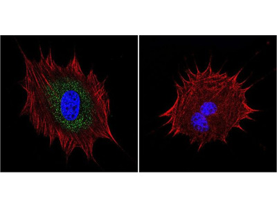 AKAP450 Monoclonal Antibody (17G10)