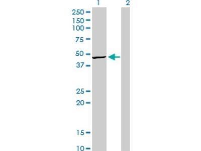 TRIB3 Antibody (1H2)