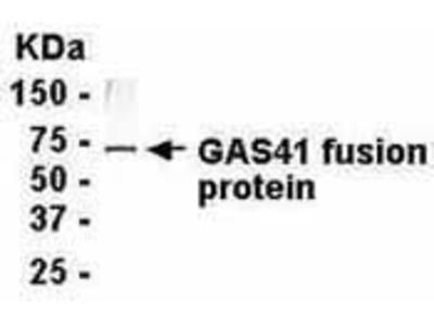GAS41 Polyclonal Antibody