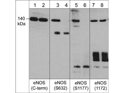 eNOS Phospho-Regulation Antibody Sampler Kit