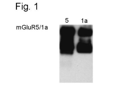 mGluR1/mGluR5 Polyclonal Antibody