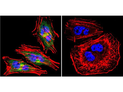 eNOS Polyclonal Antibody
