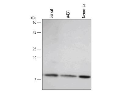 Human / Mouse HSP10 / EPF Antibody