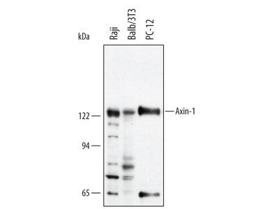 Axin-1 Antibody
