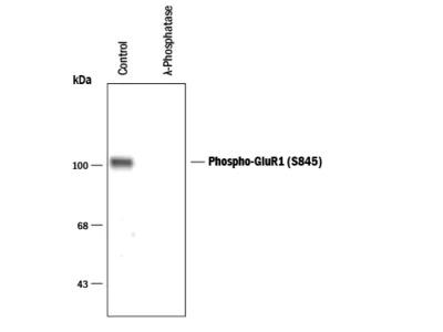 Phospho-GluR1 (S845) Antibody