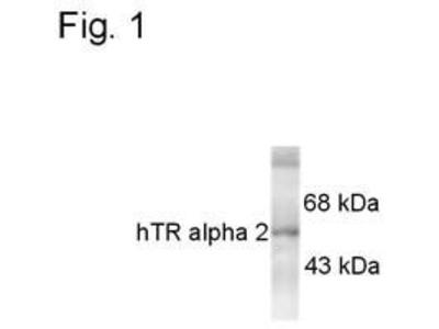 THRA Monoclonal Antibody (1330)