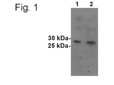 SYNGR1 Polyclonal Antibody
