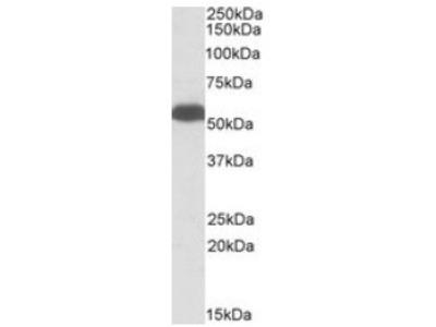anti Glutamate dehydrogenase 1 (+Glutamate dehydrogenase 2)