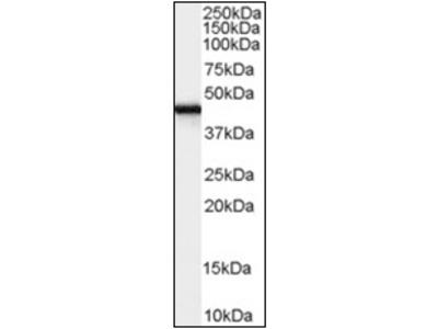 anti Zygin-1 (278-290)