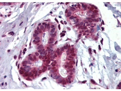 THRSP goat polyclonal antibody, Purified