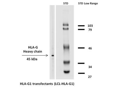 anti HLA class I alpha G / HLA-G