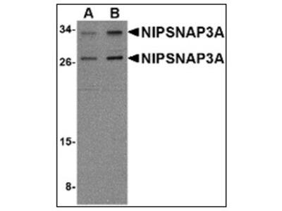 anti NipSnap3A / NipSnap4