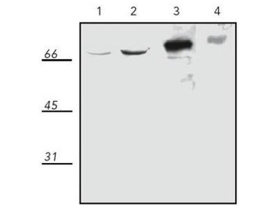 anti Heat shock protein 70 / HSP70 (+HSP73)