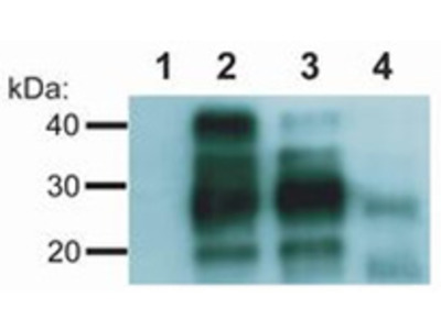 anti CD230 / PrP