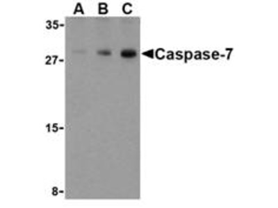 RABBIT ANTI CASPASE-7 (C-TERMINAL)