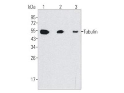 anti TUBB / TUBB5