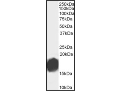 anti AGR2 (48-59)