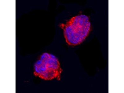 Equine IL-1ra / IL-1F3 Antibody