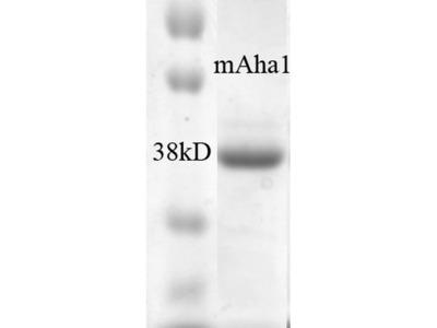 AHA1 Protein