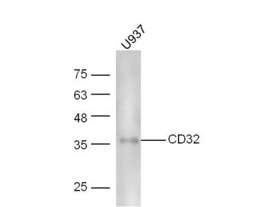 CD32 Antibody