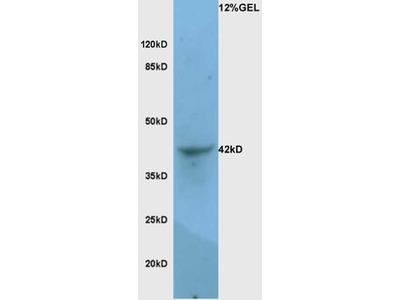 LAMP-1 Antibody