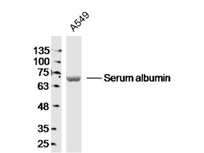 Serum albumin (3F4) Antibody