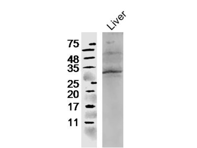 CCL4 Polyclonal Antibody